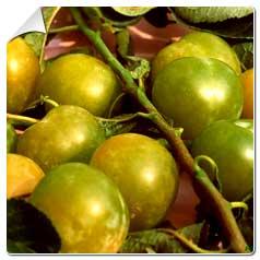 Prunus Domestica Reine Claude Dorée – Pruniers Reine Dorée