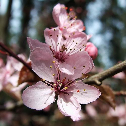 Prunus Cerasifera Pissardi – Prunier d'ornement