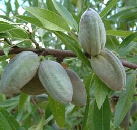 Prunus Dulcis Ferragnes (Amygdalus) – Amandiers coque tendre