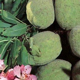 Prunus Dulcis Texas (Amygdalus) – Amandiers coque dure