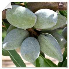 Prunus Dulcis Princesse (Amygdalus) – Amandiers coque tendre