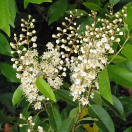 Prunus Lusitanica Pyramidallis – Laurier du Portugal