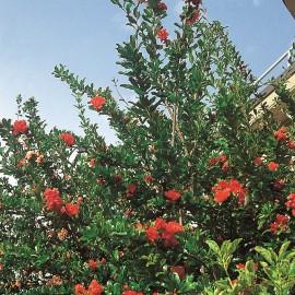 Punica Maxima Rubra – Grenadier à fleurs