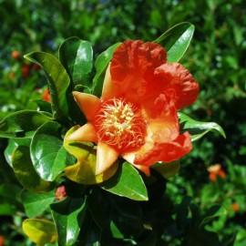 Punica Granatum – Grenadier à Fruit