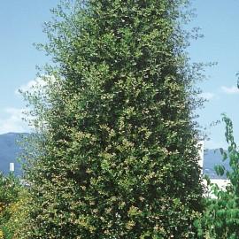 Quercus Ilex – Chêne vert