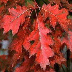 Quercus Rubra – Chêne Rouge