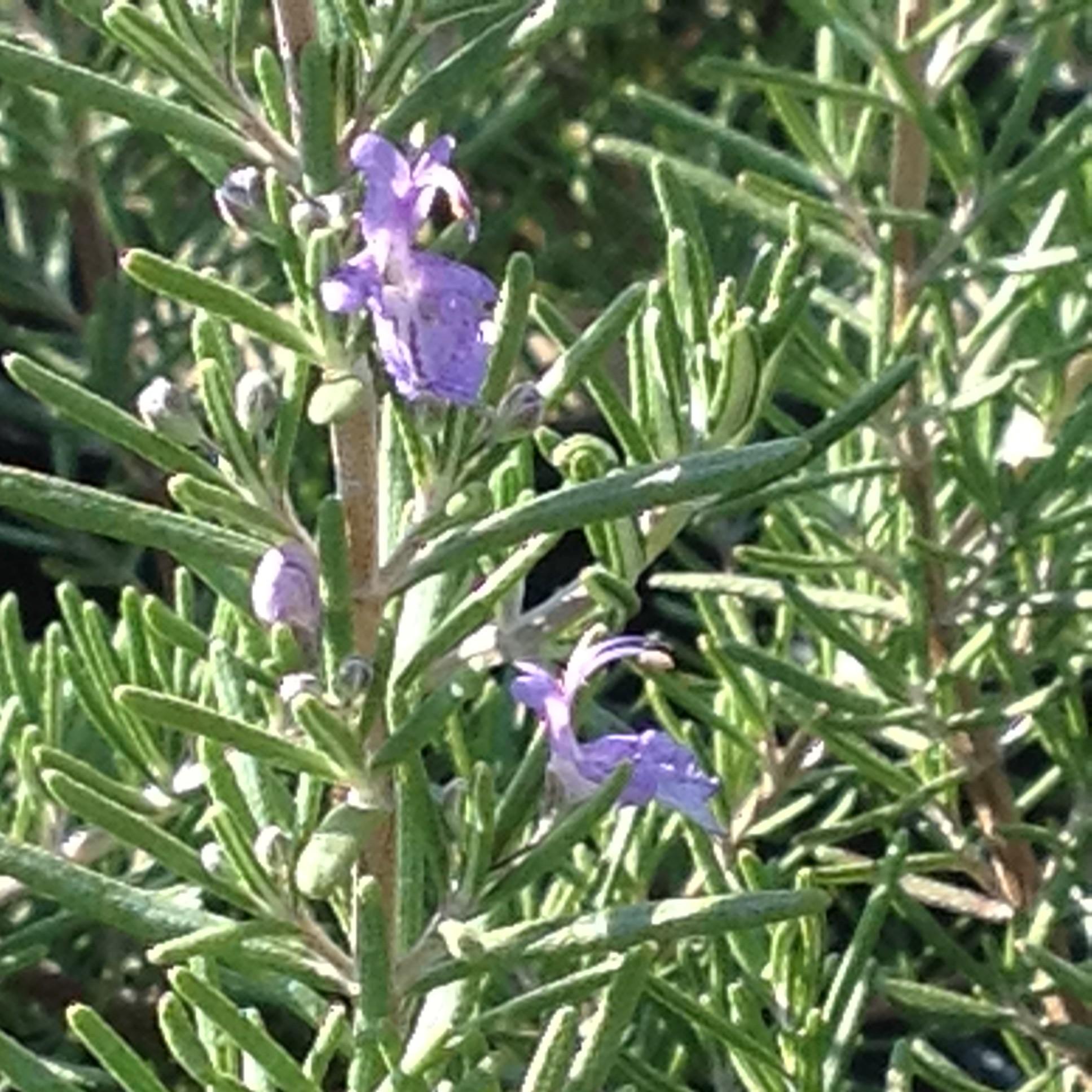 Rosmarinus Officinalis boule – Romarin