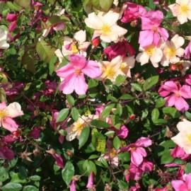 Rosa Chinensis Mutabilis – Rosiers