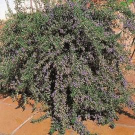 Rosmarius officinalis corsican blue – Romarin