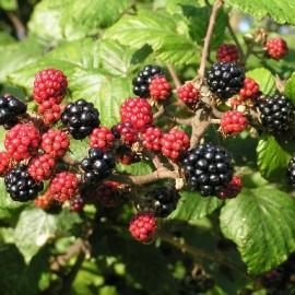 Rubus Fruticosus – Mure noire