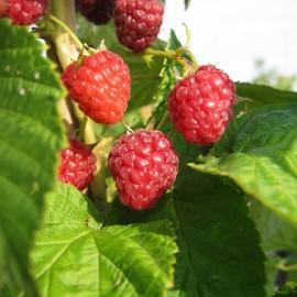 Rubus Idaeus – Framboisier