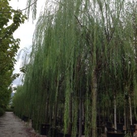 Salix Babylonica – Saule Pleureur