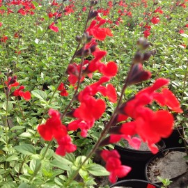 Salvia Microphylla Royal Bumble – Sauge rouge
