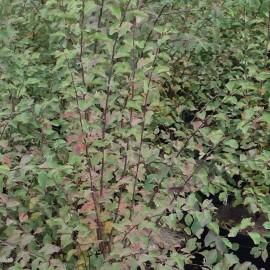 Spiraea X Vanhouttei – Spirée blanche