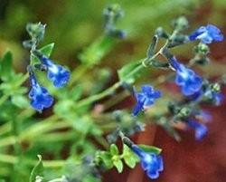 Salvia Lycloides – Sauge bleu