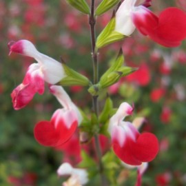 Salvia microphylla hot lips – Sauge rouge et blanche