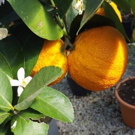 Citrus sinensis – Oranger