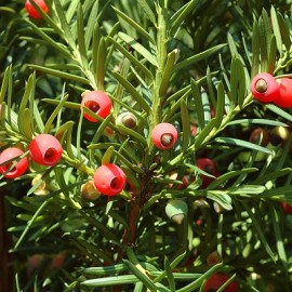 Taxus Baccata – If