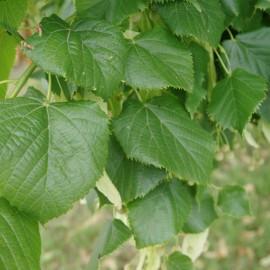 Tilia Platyphyllos Grandiflora – Tilleul de Hollande