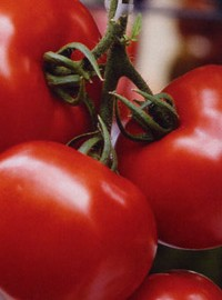 Tomate Olympe