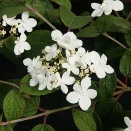 Viburnum Plicatum – Viorne