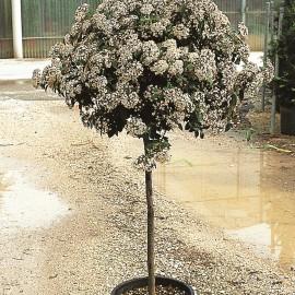 Viburnum Tinus – Laurier Tin