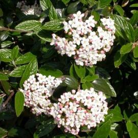 Viburnum x Burkwoodii – Viorne