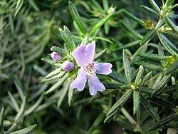 Westringia Eremicola Bleu – Romarin d'Australie