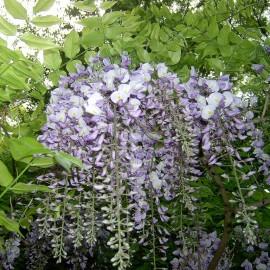 Wisteria Sinensis – Glycine mauve
