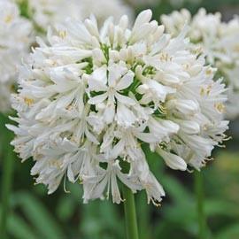 Agapanthus Africanus  ou Umbellatus Blanc