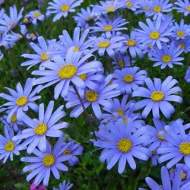 Agathea Coelestis Bleu – Paquerettes Bleus