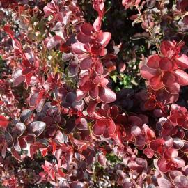 Berberis Thunbergii Atropurpea Nana – Epine Vinette