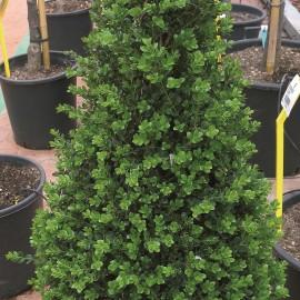 Buxus Sempervirens – Buis