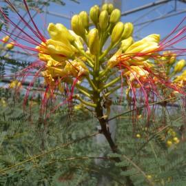 Caesalpinia Gillesii – Oiseau du Paradis