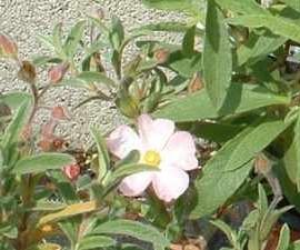 Cistus x Skanbergi – Ciste blanc rose