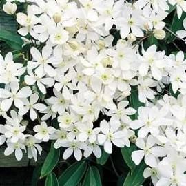 Clematis Armandii – Clématite blanche