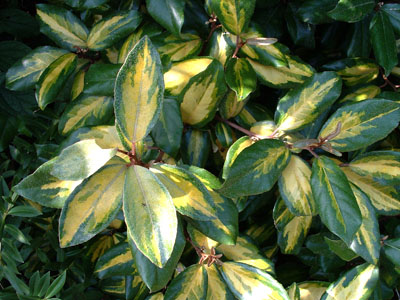 Elaeagnus x Ebbingei Lime Light – Chalef