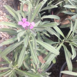 Erysimum Linifolium Bowles Purple