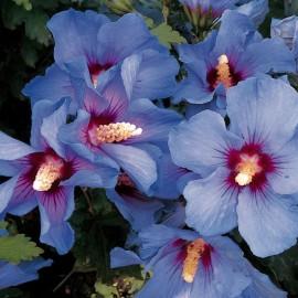 Hibiscus Syriacus Oiseau Bleu – Althéa