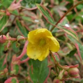 Hypericum Moserianum tricolor – Millepertuis