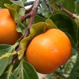 Diospyros Muscadet – Kaki Muscadet