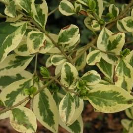 Ligustrum Ovalifolium Argenteum – Troène Panaché