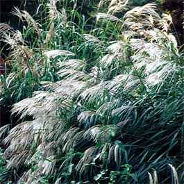 Miscanthus sinensis Early Hybrid – Roseau de Chine