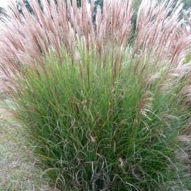 Miscanthus sinensis Gracillimus – Roseau de Chine vert et blanc