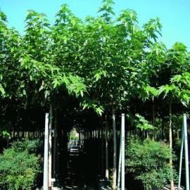 Morus Platanifolia/fruitless – Mûrier platane sterile