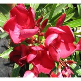 Nerium Oleander emile sahut rouge simple – Laurier Rose