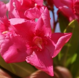 Nerium Oleander Margaritha rose simple – Laurier rose
