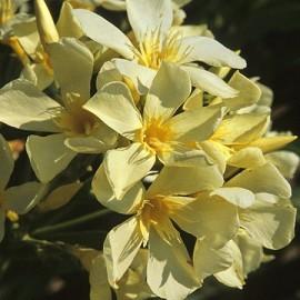 Nerium Oleander Marie Gambetta Jaune simple – Laurier Rose