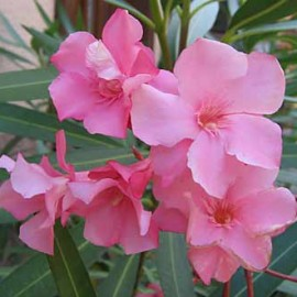 Nerium Oleander Virginie rose simple – Laurier Rose