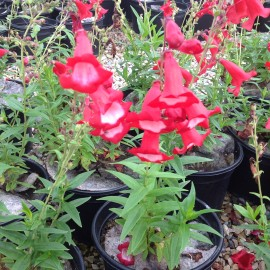 Penstemon Phare Rouge